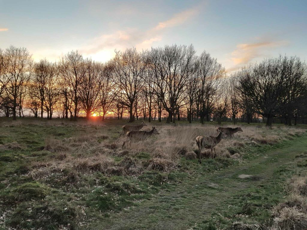 Richmond Park Sunset with deers
